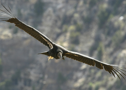 Condors Making Comeback in Arizona