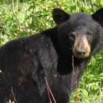 Southwest Colorado Bear Study Brings New Insight Into Ursine Behavior