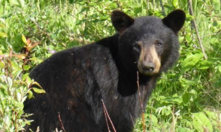 Southwest Colorado Bear Study Brings New Insight Into Bruin Behavior