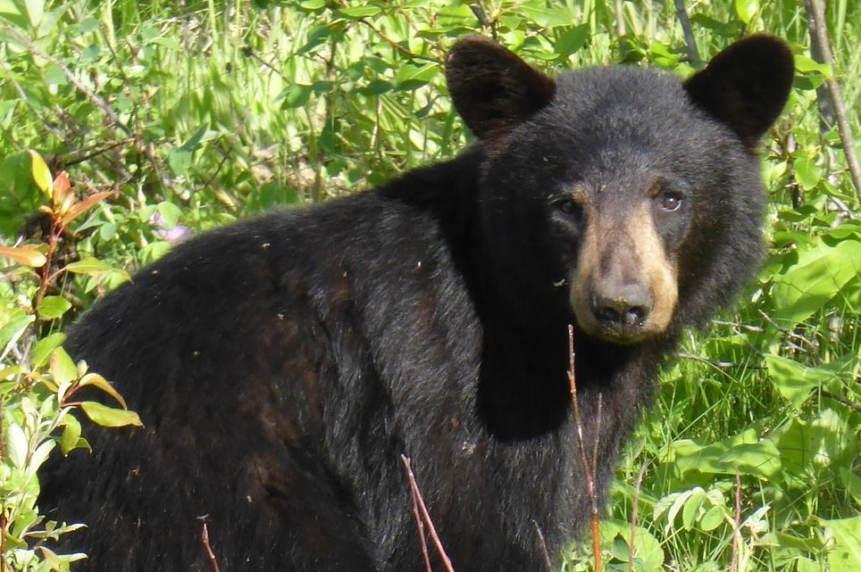 A Report Card on Black Bears in Southwest Colorado