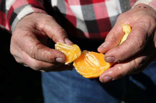 Closeup of man tearing apart orange segments