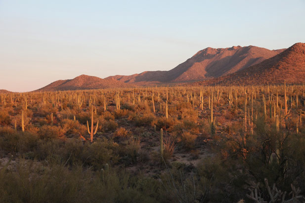Saguaro cactus and desert mountains at sunset